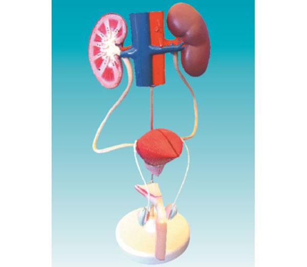 医药教学器材-泌尿系统模型