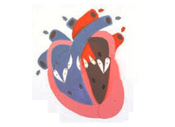 心脏收缩,舒张与瓣膜开闭演示模型