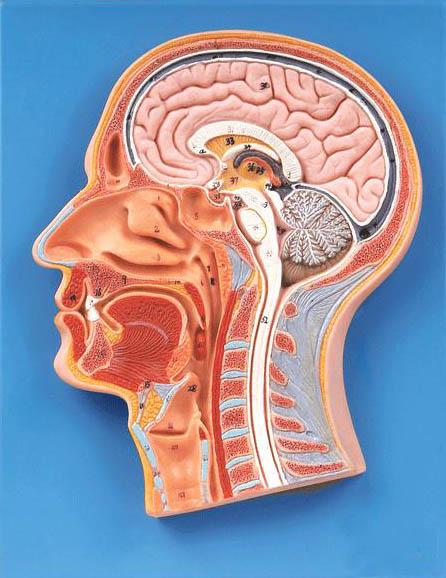 该模型显示脑,脊髓,鼻腔,口腔以及喉腔等结构,共有53个部位指示标志.