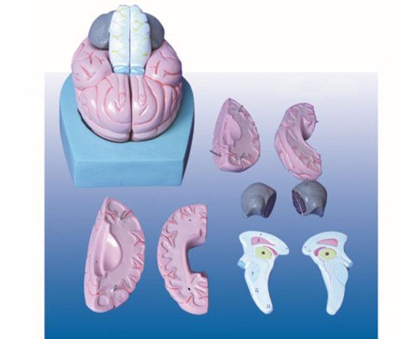 脑组织解剖结构模型图片