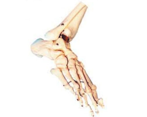 admin 发布于 2013-06-20 15:03 被浏览了 910 次 上海驿佳公司专业生产足骨模型,根据人体的解剖结构,采用PVC材料精心仿制而成,足骨模型广泛适用于社大专院校、医院、医学院、卫校等医疗单位进行教学的理想模型,因其实用性强,造型逼真,受到广大用户的好评,欢迎订购:电话:021-63283651。 足骨模型 型号:YJ/G0052价格:150元