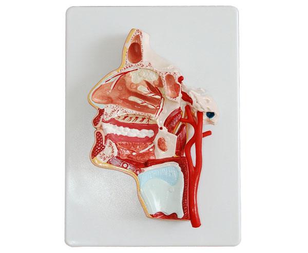 鼻子的结构和血管分布