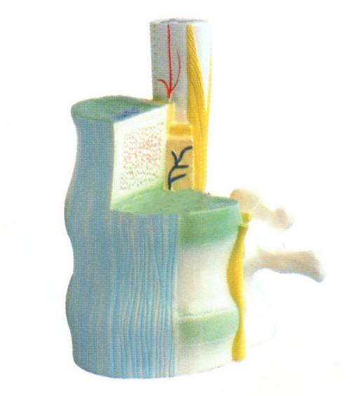 脊髓与椎骨关系模型的产品说明信息可能还不够细致和全面,如果您需要更详细了解关信息或索取相关资料,欢迎随时与我联系!优质优价尽在驿佳教学,联系方式:QQ:1193112393 电话:021-63283651 手机:15901731110 上海佳驿佳医学模型专家主要产品有腰骶椎解剖与脊神经关系模型,神经系统解剖模型,医用解剖模型是根据人体神经系统解剖解剖结构,采用PVC材料生产的教学模型,欢迎咨询电话:021-63283651。