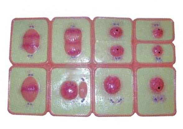 动物细胞有丝分裂模型